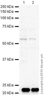 Western blot - MMP12 antibody - Carboxyterminal end (ab66157)