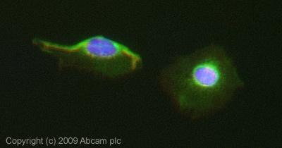 Immunocytochemistry/ Immunofluorescence - Apg3 antibody (ab66287)