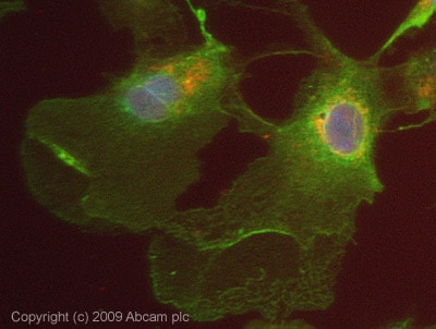 Immunocytochemistry/ Immunofluorescence - USP2 antibody (ab66556)