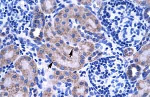 Immunohistochemistry (Formalin/PFA-fixed paraffin-embedded sections)-Anti-ZNF134 antibody(ab66646)