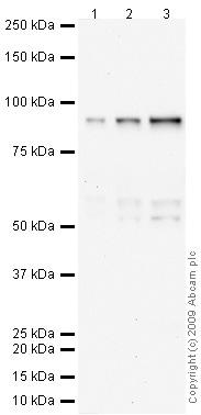 Western blot - C1r antibody (ab66751)