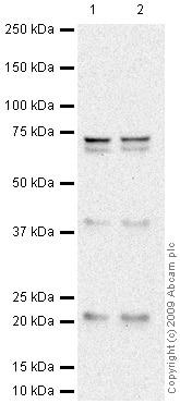 Western blot - ASF1a antibody (ab66754)