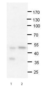 Western blot - Anti-PRMT2 antibody (ab66763)