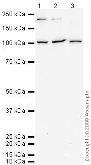 Western blot - CD162 antibody (ab66882)