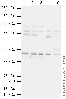 Western blot - Kindlin antibody (ab68041)
