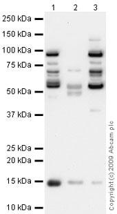Western blot - Anti-Cystatin C antibody (ab68290)