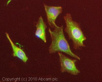 Immunocytochemistry/ Immunofluorescence-PSAP antibody(ab68466)