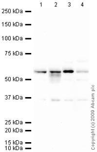 Western blot - CALCOCO2 antibody (ab68588)