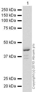 Western blot - POLDIP2 antibody (ab68663)