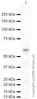 Western blot - Myotilin antibody (ab68915)