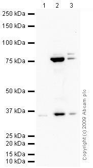 Western blot - Wnt9b antibody (ab69287)