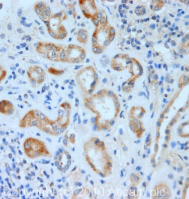 Immunohistochemistry (Formalin/PFA-fixed paraffin-embedded sections) - KCNE2 antibody (ab69376)