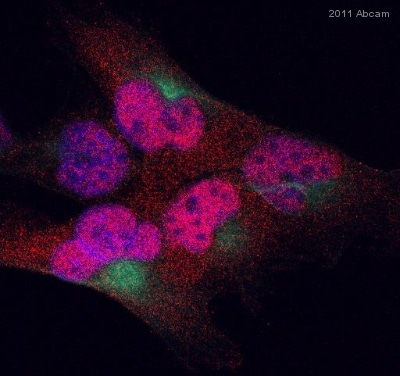 Immunocytochemistry/ Immunofluorescence - MGMT antibody (ab69629)