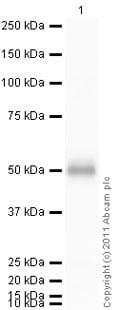 Western blot - CTLA4 protein (ab69787)