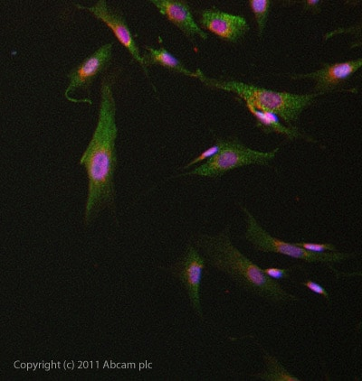 Immunocytochemistry/ Immunofluorescence - Anti-GPCR GPR49 antibody (ab71225)