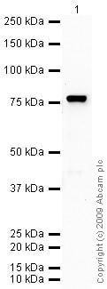 Western blot - Anti-C9 antibody (ab71330)