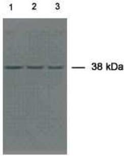 Western blot - CCDC50 antibody (ab71572)