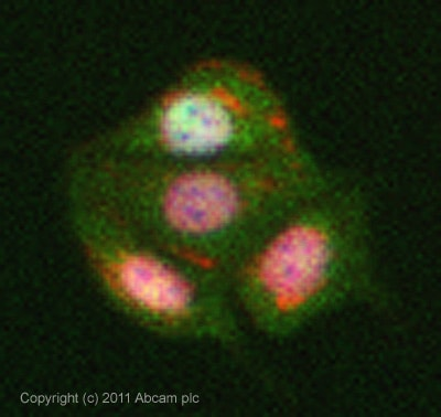 Immunocytochemistry/ Immunofluorescence-Translin antibody(ab71775)
