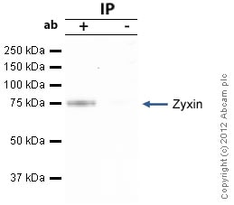 Immunoprecipitation - Anti-Zyxin antibody (ab71842)