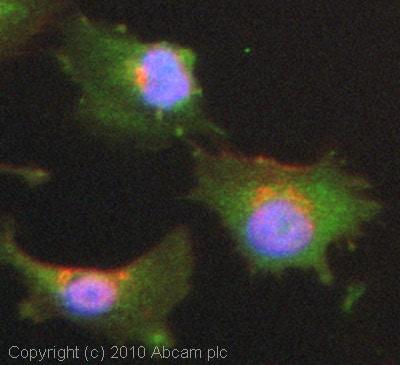 Immunocytochemistry/ Immunofluorescence - Nrf2 antibody (ab71890)