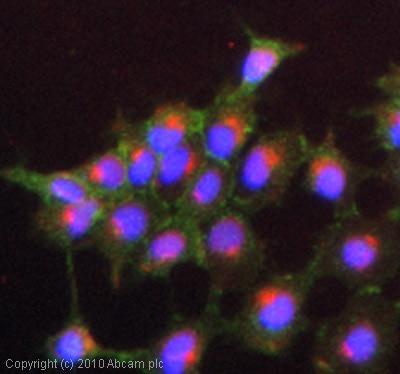 Immunocytochemistry/ Immunofluorescence-PHLPP antibody(ab71972)