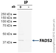 Immunoprecipitation - Anti-FADS2 antibody (ab72189)