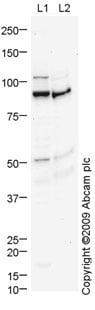Western blot - Advillin antibody (ab72210)