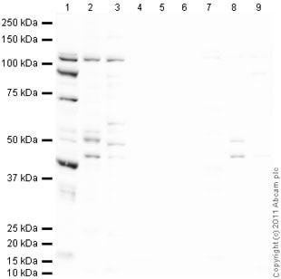 Western blot - PGC1 alpha + beta antibody (ab72230)
