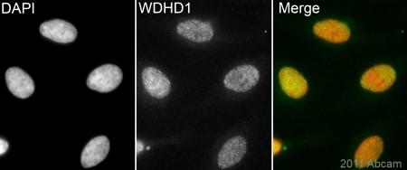 Immunocytochemistry/ Immunofluorescence - WDHD1 antibody (ab72436)