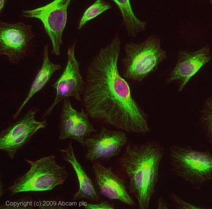 Immunocytochemistry/ Immunofluorescence - DNAJC3 antibody (ab72885)
