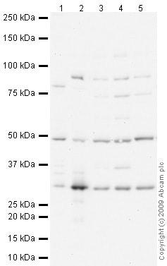 Western blot - IMPA1 antibody (ab73074)