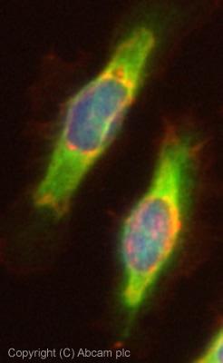 Immunocytochemistry/ Immunofluorescence - IMPA1 antibody (ab73074)