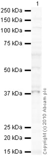 Western blot - TRIB3 antibody (ab73547)