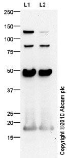 Western blot - Anti-MCP1 antibody (ab73680)