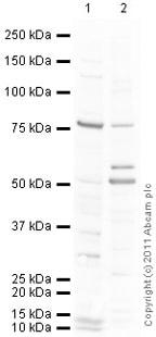 Western blot - TNF Receptor II antibody (ab74315)