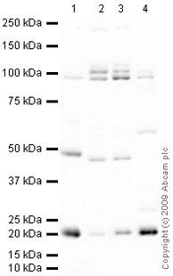 Western blot - Anti-Smoothelin antibody (ab74379)