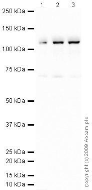 Western blot - C6 antibody (ab74638)