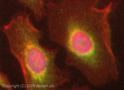 Immunocytochemistry/ Immunofluorescence - C6 antibody (ab74638)