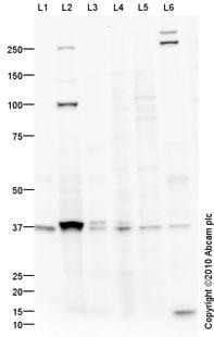 Western blot - ESAM antibody (ab74777)