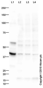 Western blot - PHD2 / prolyl hydroxylase antibody [mAbcam 74796] (ab74796)