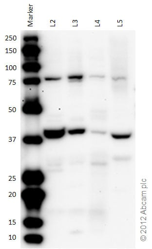 Western blot - Anti-Dynein antibody (ab75214)