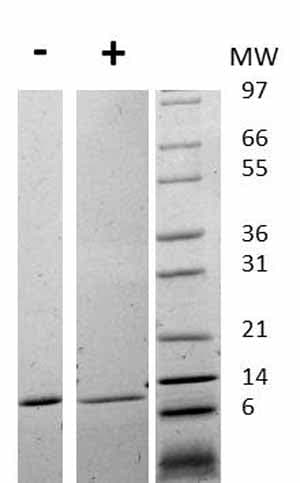Other-MIF protein (Active)(ab75432)