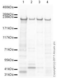 Western blot - Anti-non-muscle Myosin IIA antibody (ab75590)