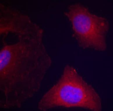 Immunocytochemistry/ Immunofluorescence - Anti-GSK3 beta (phospho Y216) antibody (ab75745)