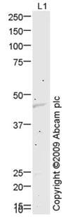 Western blot - KCNJ1 antibody (ab75906)