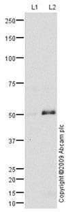 Western blot - KCNN4 antibody (ab75956)