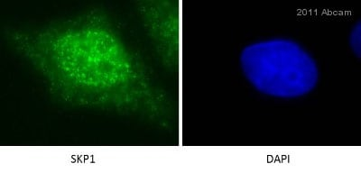 Immunocytochemistry/ Immunofluorescence - Anti-Skp1 antibody [EPR3304] (ab76502)
