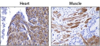 Immunohistochemistry (Formalin/PFA-fixed paraffin-embedded sections) - FXYD1 antibody (ab76597)