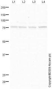 Western blot - P2RX4 antibody (ab76893)