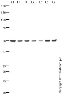 Western blot - CHMP6 antibody (ab76929)